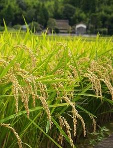 rice f (5)