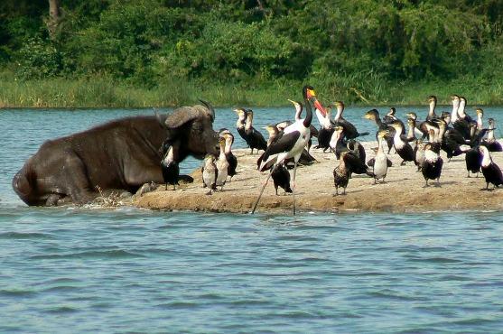 bufaloes-lake-nakuru