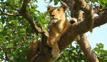 lion-uganda