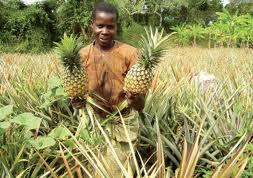 1-pineapple ugandajpg